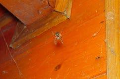 Orb Weaver Spider i hörnet arkivbild