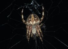 Orb Weaver Spider On Its Web At Night stock photo