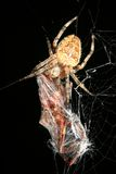 Orb weaver spider with prey. Closeup of orb weaver spider with prey Royalty Free Stock Photo