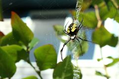 Orb weaver spider ready to pounce Royalty Free Stock Image