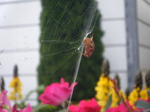 Orb-weaver spider spinning its web Stock Photo