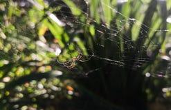 Exotic colorful specimen of Argiope bruennichi spider stock image