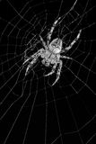 Orb weaver spider in web. An orb weaver spider is waiting for prey in its web Stock Photos