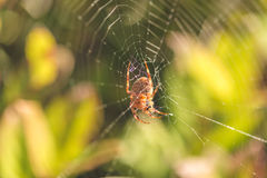 Orb Weaver Spider on Web Stock Photo