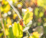 Orb Weaver Spider on Web Royalty Free Stock Image