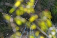 Spider and the Spiders Web Shining in Sunlight Stock Image
