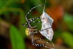 Orb Weaver Spider Stock Images