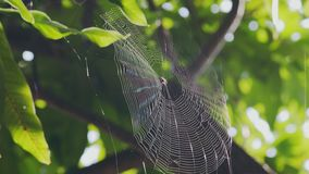 Orb Weaver Web In The Wind. Orb Weaver Spider Web Fluttering In The Wind  On A Mango Tree In The Maldives stock footage