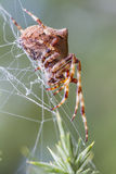 Orb Weaving  Spider (Araneus angulatus). Found on Dorset heath UK. Hanging from web with shallow depth of focus and characteristic tubercle on abdomen Stock Photo