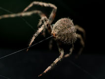 Orb Weaving spider lays out Web closeup from behind with black b Stock Images
