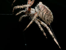 Orb Weaving spider lays out Web closeup with black background Stock Photos