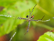 Orb-Web Spider. One of many species of Golden Orb-Web Spiders Royalty Free Stock Photo