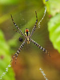 Orb-Web Spider. One of many species of Golden Orb-Web Spiders Stock Photos