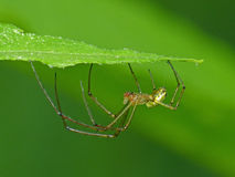 Orb Web Spider Under A Leaf Royalty Free Stock Photos
