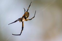 Orbe Weaver Garden Spider Imagenes de archivo