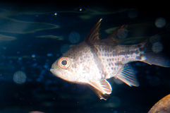 Orbic Cardinalfish in Aquarium Stock Photos