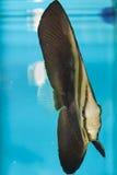 Orbicular Batfish Royaltyfri Bild