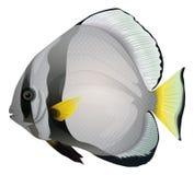 Orbicular batfish Zdjęcia Stock