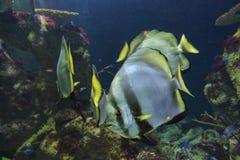 Orbicular Batfish Arkivbilder