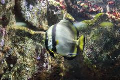 Orbicular Batfish Arkivfoton