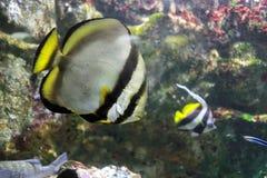 Orbicular Batfish Fotografering för Bildbyråer