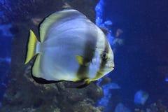 Orbicular Batfish Royaltyfria Bilder