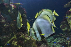Orbicular batfish Stock Images