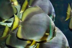 Orbicular Batfish (Platax orbicularis) Royaltyfri Bild