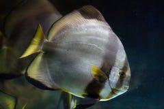 Orbicular Batfish (Platax orbicularis) Arkivfoto