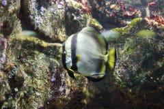 Orbicular batfish Stock Photos
