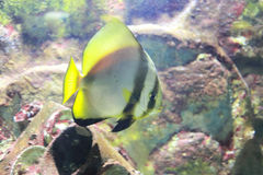 Orbicular batfish Royalty Free Stock Photo