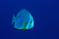 Orbicular batfish Stock Photos