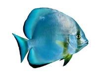 Orbicular batfish Stock Photo