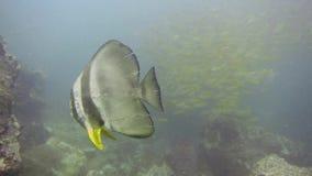The orbicular batfish stock video