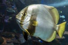 Orbicular batfish Platax orbicularis - ocean and sea fish. Close up Royalty Free Stock Photos