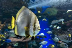 Orbicular batfish Platax orbicularis - ocean and sea fish. Close up Stock Photo