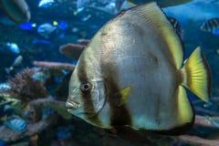 Orbicular batfish Platax orbicularis - ocean and sea fish. Close up Royalty Free Stock Photography