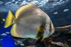 Orbicular batfish Platax orbicularis - ocean and sea fish. Close up Royalty Free Stock Photo