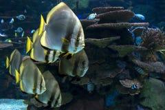 Orbicular batfish Platax orbicularis - ocean and sea fish. The group of floating orbicular batfishes Royalty Free Stock Photo