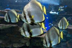 Orbicular batfish Platax orbicularis - ocean and sea fish. The group of floating orbicular batfishes Stock Photography