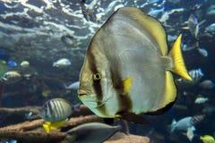 Orbicular batfish Platax orbicularis - ocean and sea fish. Close up Stock Images