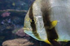 Orbicular batfish Platax orbicularis - ocean and sea fish. Portrait,close up Royalty Free Stock Image
