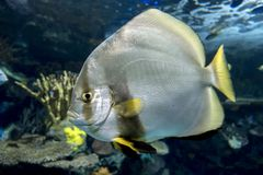 Orbicular batfish Platax orbicularis - ocean and sea fish. Portrait,close up Royalty Free Stock Photography