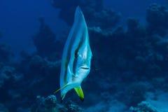 Orbicular batfish Stock Image