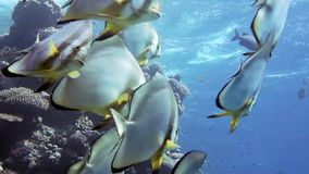 Orbicular batfish Platax orbicularis swims in the blue water, red sea. Egypt stock video footage