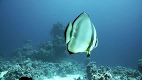 Orbicular batfish Platax orbicularis swims in the blue water, red sea. Egypt stock video