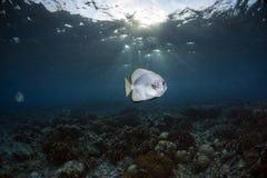Orbicular Batfish Platax orbicularis Underwater Scene with blue background stock photography