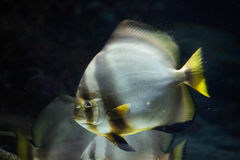 Orbicular batfish (Platax orbicularis). Stock Photo