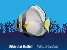 Orbicular batfish under the sea Royalty Free Stock Photography