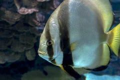 Orbicular batfishPlatax orbicularis - hav- och havsfisk Royaltyfri Foto